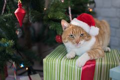 Red cat in the room with Christmas fir. Happy Christmas Stock Images