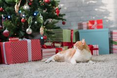Red cat in the room with Christmas fir. Happy Christmas Royalty Free Stock Images