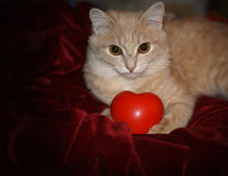 Red cat with rubber toy heart Stock Images