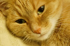 Red cat. With sad eyes Stock Photos