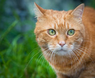 Red cat. Selective focus. Royalty Free Stock Photos
