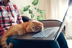 Red cat sits on the hands of a freelancer near the laptop royalty free stock image
