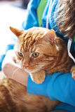 Red cat sits on his owner's hands. Royalty Free Stock Image
