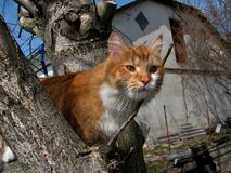 Red cat sits on a tree and looks with big ginger eyes stock photos