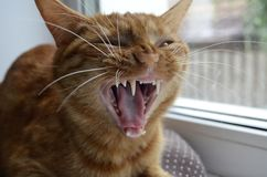 A red cat sits on a window sill on a window on a brown cushion and yawns. Open mouth. Fangs are seen. Open mouth with sharp white. Teeth. One yellow eye is royalty free stock photos