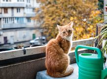 Red cat sitting on the balcony near the flowers and watering can for watering stock photos