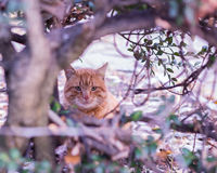 The red cat sitting in the bushes. Royalty Free Stock Image
