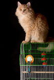 Red cat sitting on the cage with a parrot. Royalty Free Stock Image
