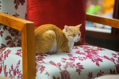 Red cat sitting on a chair Stock Images