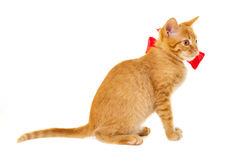 Red cat is sitting on the floor in the red ribbon Stock Images