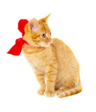 Red cat is sitting on the floor in the red ribbon Royalty Free Stock Image