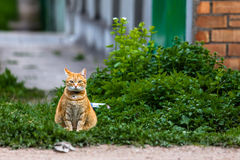 Red cat sitting on green grass. With collar and little bell Stock Photography