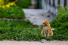 Red cat sitting on green grass. With collar and little bell Royalty Free Stock Photo