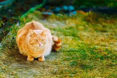 Red Cat Sitting On Green Spring Grass Royalty Free Stock Image