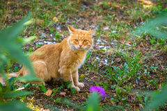 Red cat sitting on the ground, portrait Stock Images