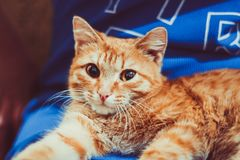 Red cat sitting on his hands. Cute little red kitten is sitting on his hands. Kitten in the hands. Red-haired kitten. Soft tone photo. Ginger kitten Royalty Free Stock Photos