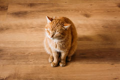 Red Cat Sitting On Laminate Floor Royalty Free Stock Images