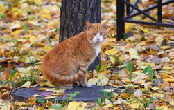 Red cat sitting on the lid of the manhole. Among the fallen autumn leaves stock image