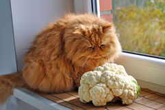 Red cat sitting near the cauliflower Royalty Free Stock Photos