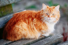 Red Cat Sitting On Old Wooden Bench In Park Royalty Free Stock Images
