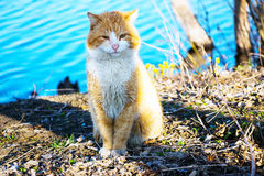 Red cat sitting Royalty Free Stock Images