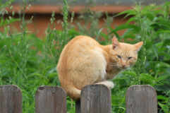 Red cat sitting on a wooden fence and looks stock photos