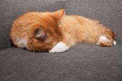The red cat is sleeping and covering its nose and face under its paw. Psychology and behavior of domestic animals royalty free stock photo
