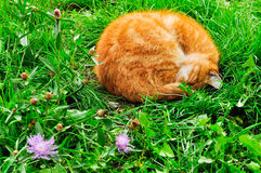 Red cat sleeping in the garden Stock Photography