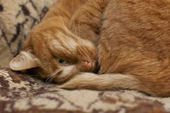 Red cat is sleeping. looking with one eye . close-up royalty free stock photography