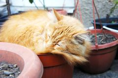 Red cat sleeping on the street in flowerpots royalty free stock photos