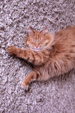 Red cat sleeps on a carpet Stock Image