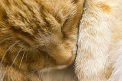 Red cat sleeps close up royalty free stock images