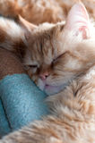 Red cat sleeps portrait Royalty Free Stock Photography