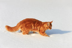 Red cat slinks on a snow Stock Image