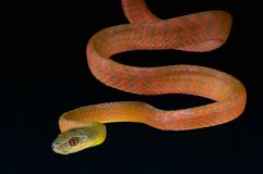 Red cat snake / Boiga nigriceps Stock Photos