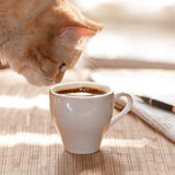 Red cat sniffing  and looking a mug of black coffee Stock Image