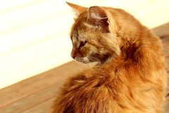Ginger cat sitting and staring at someone. Red, cat, snout, hiding, sun, animal, pet, fluffy, striped, mustache, eyes squinted, sunlight, heat, spring, fur Stock Images