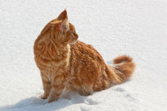 Red cat on a snow Royalty Free Stock Images