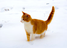 Red cat on snow Royalty Free Stock Photos