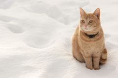 Red cat on the snow Stock Photography