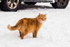 Red cat Stock Photography
