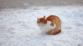 Red Cat in the snow stock footage