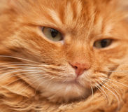 Red cat, in soft focus. Face of funny furry red cat,  closeup in  soft focus Stock Photo