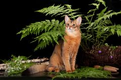 Red cat Somali in the fern. On a black background Stock Images