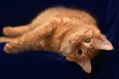 Red cat with a sore eye. A young red cat with a sore eye stock photography