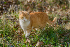 Red cat standing in the grass Royalty Free Stock Image