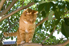 Red cat standing in a tree Royalty Free Stock Image