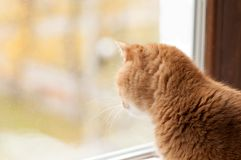 Red cat stares outside the window. Close-up Royalty Free Stock Photo