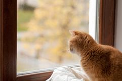 Red cat stares outside the window. Close-up Stock Photos