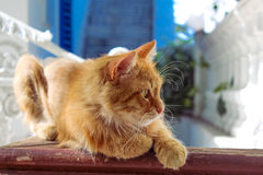 Red cat. Royalty Free Stock Photo